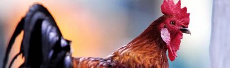 Polli e galline